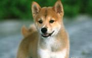 日本柴犬壁纸 动物壁纸