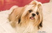 Shih Tzu 西施犬壁纸 动物壁纸