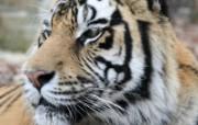 狮虎豹壁纸 动物壁纸