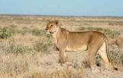 狮虎豹写真宽屏壁纸 动物壁纸