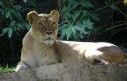 狮子写真宽屏壁纸 狮虎豹写真宽屏壁纸 动物壁纸