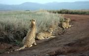 豹写真宽屏壁纸 狮虎豹写真宽屏壁纸 动物壁纸
