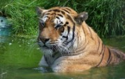 老虎写真宽屏壁纸 狮虎豹写真宽屏壁纸 动物壁纸