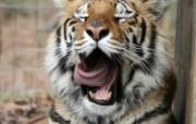 狮虎豹写真宽屏壁纸 狮虎豹写真宽屏壁纸 动物壁纸