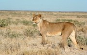 狮虎豹专辑 动物壁纸