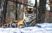 狮虎豹专辑 2 17 狮虎豹专辑 动物壁纸