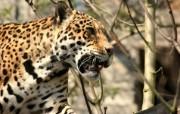 狮虎豹专辑 2 16 狮虎豹专辑 动物壁纸