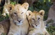 狮虎豹专辑 2 14 狮虎豹专辑 动物壁纸