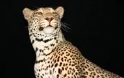 狮虎豹专辑 2 11 狮虎豹专辑 动物壁纸