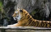 狮虎豹专辑 2 9 狮虎豹专辑 动物壁纸