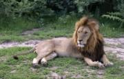 狮虎豹专辑 2 8 狮虎豹专辑 动物壁纸