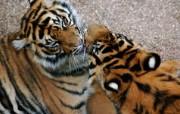 狮虎豹专辑 2 6 狮虎豹专辑 动物壁纸