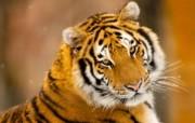 狮虎豹专辑 2 5 狮虎豹专辑 动物壁纸