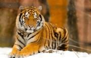狮虎豹专辑 2 2 狮虎豹专辑 动物壁纸