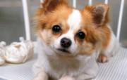 世界名狗高清壁纸 第二集 壁纸1 世界名狗高清壁纸 ( 动物壁纸