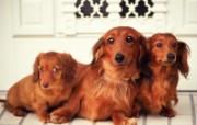 世界名狗高清壁纸 第二集 壁纸2 世界名狗高清壁纸 ( 动物壁纸