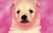 世界名狗高清壁纸 第二集 壁纸3 世界名狗高清壁纸 ( 动物壁纸