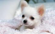 世界名狗高清壁纸 第二集 壁纸5 世界名狗高清壁纸 ( 动物壁纸