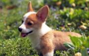世界名狗高清壁纸 第二集 壁纸10 世界名狗高清壁纸 ( 动物壁纸