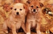 世界名狗高清壁纸 第二集 壁纸16 世界名狗高清壁纸 ( 动物壁纸