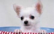 世界名狗高清壁纸 第二集 壁纸17 世界名狗高清壁纸 ( 动物壁纸