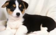 世界名狗高清壁纸 第二集 壁纸18 世界名狗高清壁纸 ( 动物壁纸