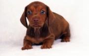 世界名狗高清壁纸 第二集 壁纸19 世界名狗高清壁纸 ( 动物壁纸