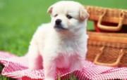 世界名狗高清壁纸 第二集 壁纸20 世界名狗高清壁纸 ( 动物壁纸