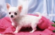 世界名狗高清壁纸 第二集 壁纸21 世界名狗高清壁纸 ( 动物壁纸