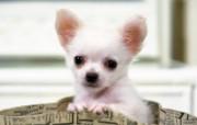 世界名狗高清壁纸 第二集 壁纸23 世界名狗高清壁纸 ( 动物壁纸