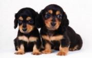 世界名狗高清壁纸 第二集 壁纸24 世界名狗高清壁纸 ( 动物壁纸
