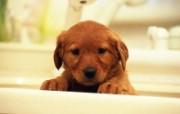 世界名狗高清壁纸 第二集 壁纸26 世界名狗高清壁纸 ( 动物壁纸