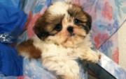 世界名狗高清壁纸 第二集 壁纸28 世界名狗高清壁纸 ( 动物壁纸