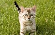 世界名猫宽屏高清壁纸 壁纸1 世界名猫宽屏高清壁纸 动物壁纸