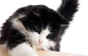 世界名猫宽屏高清壁纸 壁纸6 世界名猫宽屏高清壁纸 动物壁纸