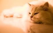 世界名猫宽屏高清壁纸 壁纸7 世界名猫宽屏高清壁纸 动物壁纸