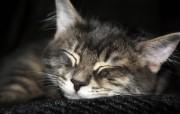 世界名猫宽屏高清壁纸 壁纸9 世界名猫宽屏高清壁纸 动物壁纸