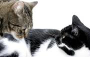 世界名猫宽屏高清壁纸 壁纸14 世界名猫宽屏高清壁纸 动物壁纸