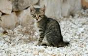 世界名猫宽屏高清壁纸 壁纸15 世界名猫宽屏高清壁纸 动物壁纸