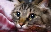世界名猫宽屏高清壁纸 壁纸19 世界名猫宽屏高清壁纸 动物壁纸