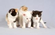 世界名猫宽屏高清壁纸 壁纸30 世界名猫宽屏高清壁纸 动物壁纸