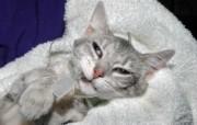 世界名猫宽屏高清壁纸 壁纸32 世界名猫宽屏高清壁纸 动物壁纸