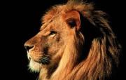 狮子 动物壁纸