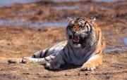 兽中之王老虎! 动物壁纸