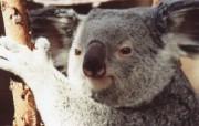 树袋熊考拉 动物壁纸