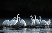 水上飞禽 动物壁纸