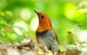 树林里的小精灵可爱小鸟 动物壁纸