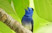 树林里的小精灵 春天可爱小鸟壁纸 蓝色精灵小鸟 黑枕蓝�l小鸟图片壁纸 树林里的小精灵可爱小鸟 动物壁纸