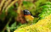 树林里的小精灵 春天可爱小鸟壁纸 台湾林鸲小鸟 春天灵气小鸟图片壁纸 树林里的小精灵可爱小鸟 动物壁纸