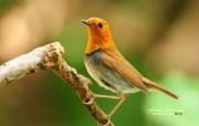 树林里的小精灵 春天可爱小鸟壁纸 日本歌鸲小鸟 灵气迷人小鸟图片壁纸 树林里的小精灵可爱小鸟 动物壁纸